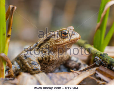 European common toad (Bufo bufo), sitting on forest floor, Germany - Stock Photo