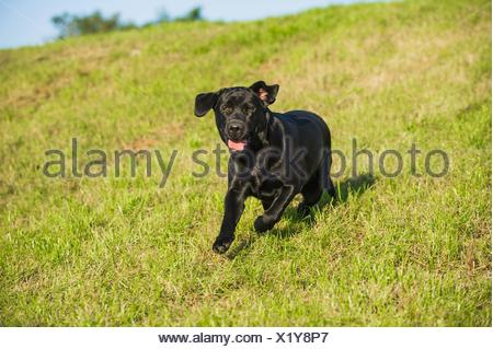 running Labrador Retriever - Stock Photo