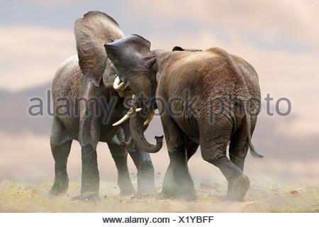 African elephant (Loxodonta africana), two elephants scuffling together, Kenya, Amboseli National Park - Stock Photo