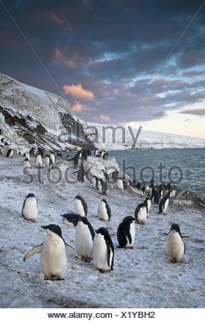 Adelie penguins walk along beach at sunset, Antarctica - Stock Photo
