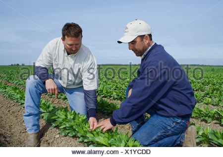 Agriculture - A grower and commodity broker in the field inspecting a crop of early growth safflower / McArthur, California, USA - Stock Photo