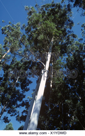 30 metre high Eucalyptus grandis trees in a forestry plantation in South Africa - Stock Photo