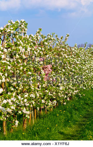 apple tree (Malus domestica), flowering apple trees at an plantation in Jork, Germany, Lower Saxony - Stock Photo