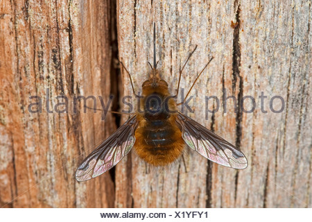 Large bee fly (Bombylius major), with long sucker, Germany