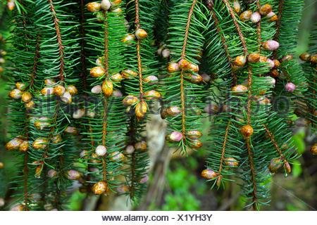 Gemeine Fichte, Gewoehnliche Fichte (Picea abies), Fichtenzweig mit Knospen und weiblichen Blueten, Deutschland, Bayern | Norway - Stock Photo