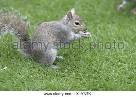 Graues Eichhoernchen fressend auf einer Wiese in Kensington Gardens London - Stock Photo