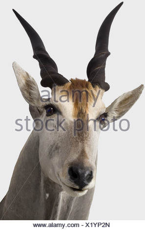 An impressive common eland hunting trophy, South West Africa, 20th century. A taxidermically preserved head of a stately male eland ('blue bull'). In extremely good condition. According to the consignor, the trophy was awarded the gold medal of the Namibia Professional Hunting Association. Length of the horns ca. 65 cm, total height ca. 150 cm. With two likewise preserved lower legs incl. hooves, length ca. 30 cm. historic, historical hunt, hunts, hunting, utensil, piece of equipment, utensils, trophies, object, objects, stills, clipping, clippings, cut out, cu, Additional-Rights-Clearances-NA - Stock Photo