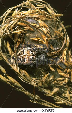 furrow orbweaver (Larinioides cornutus, Araneus cornutus), female in hide, Germany - Stock Photo