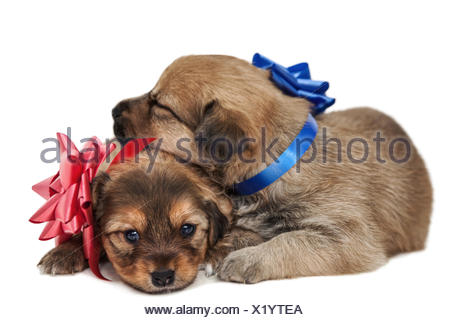 two puppies in love - Stock Photo