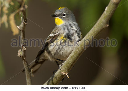 Yellow-rumped Warbler, Setophaga coronata, Arizona, USA - Stock Photo