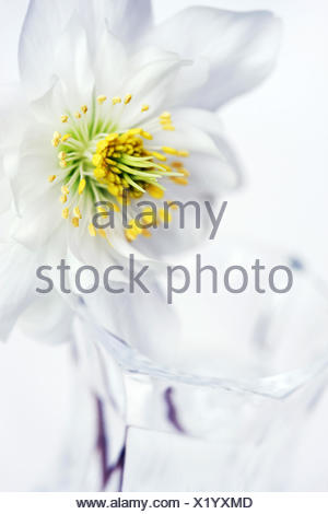 Hellebore flower in glass vase (Helleborus niger) - Stock Photo