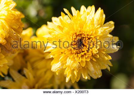 Yellow Dahlia (Dahlia sp.), Hesse, Germany, Europe - Stock Photo