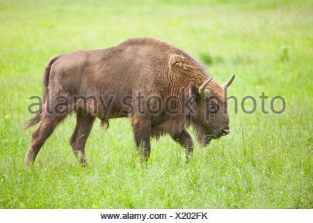 European bison (Bison bonasus) in a meadow, captive, North Rhine-Westphalia, Germany - Stock Photo