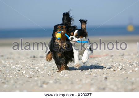 Cavalier King Charles Spaniel retrieving ball at beach - Stock Photo