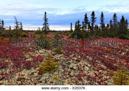 Boreal forest along St Lawrence river, Black Spruce (Picea mariana) and Northern Highbush Blueberry (Vaccinium corymbosum) - Stock Photo