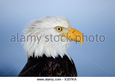 Bald eagle - portrait / Haliaeetus leucocephalus - Stock Photo