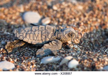 Loggerhead Sea Turtle (Caretta caretta), hatchling, Lycian Coast, Turkey, Mediterranean, Asia Minor - Stock Photo