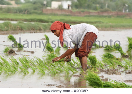 Paddy farmer in a paddyfield, Larkana, Pakistan - Stock Photo