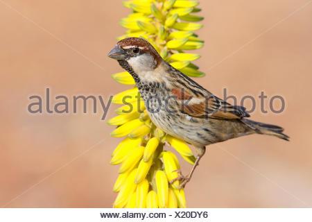 Spanish Sparrow (Passer hispaniolensis), male perched on Aloe vera flower, Santiago, Cape Verde - Stock Photo
