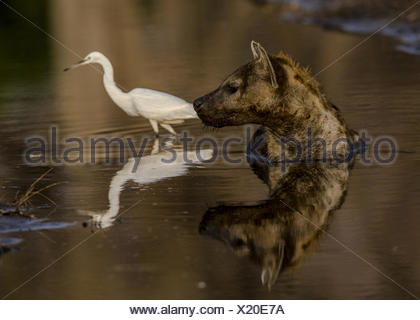 A Spotted Hyena, Crocuta crocuta, lies in a small water pool to cool down in the midday sun,. - Stock Photo