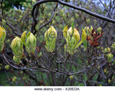 Yellow Azalea (Rhododendron luteum, Rhododendron flavum, Azalea pontica), buds - Stock Photo