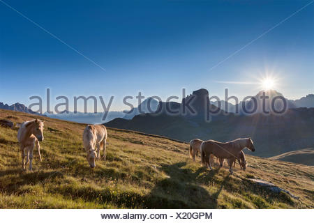 Haflinger horses grazing on the green plain of Mondeval. In the background the Becco di Mezzodì, behind Sorapiss left and right of the pyramid of Antelao. Europe, Italy, Veneto, Belluno, Dolomites - Stock Photo