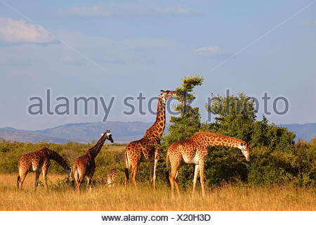 Masai giraffe (Giraffa camelopardalis tippelskirchi), group feeding in the savannah, Kenya, Masai Mara National Park - Stock Photo