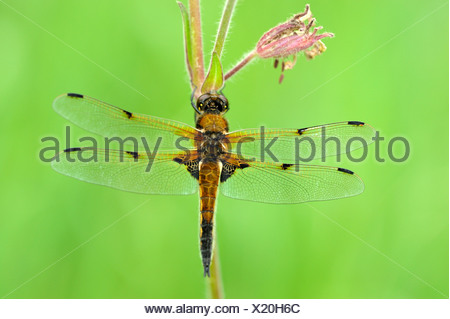 Four-spotted chaser (Libellula quadrimaculata), perched on a flower - Stock Photo