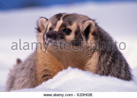AMERICAN BADGER in snow (Taxidea taxus). USA - Stock Photo