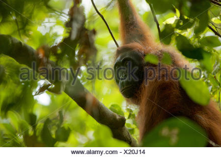 A female orangutan, Pongo pygmaeus wurmbii, rests in a tree in Gunung Palung National Park. - Stock Photo