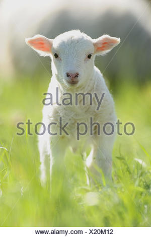 Domestic Sheep. Lamb standing in grass. Germany - Stock Photo