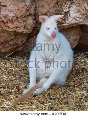 Red-necked Wallaby (Macropus rufogriseus), albino, captive, Maroparque, La Palma, Spain - Stock Photo