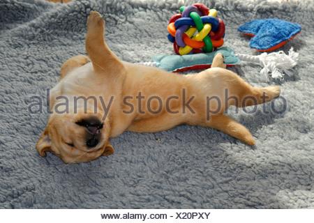 Yellow labrador retriever dog sleeping on the bed between ...