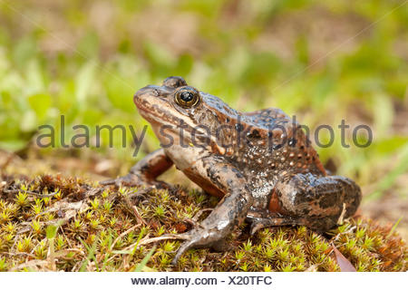 Columbia Spotted Frog, Rana luteiventris, Okanagan, BC, Canada - Stock Photo