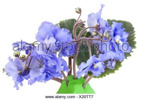 Gentle blue violets - Stock Photo