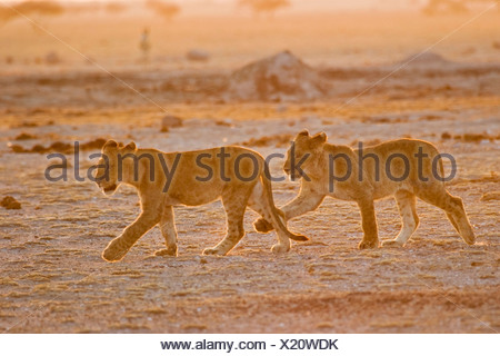 Lion cups (Panthera leo) Nxai Pan, Makgadikgadi Pans National Park, Botswana, Africa - Stock Photo