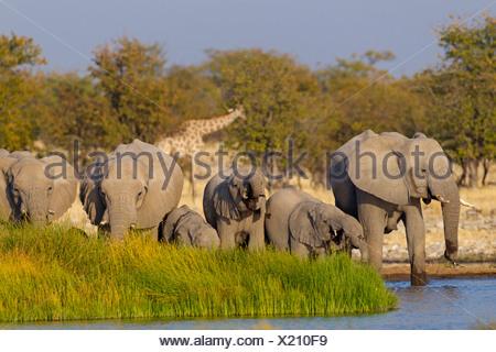African elephant (Loxodonta africana), herd at a waterhole, Namibia, Etosha National Park, Oshikoto, Riedfontein Fountain - Stock Photo