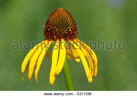 Orange Cone Flower (Rudbeckia fulgida), flower - Stock Photo