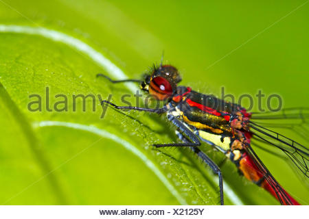 large red damselfly (Pyrrhosoma nymphula), male resting on a leaf, Germany - Stock Photo
