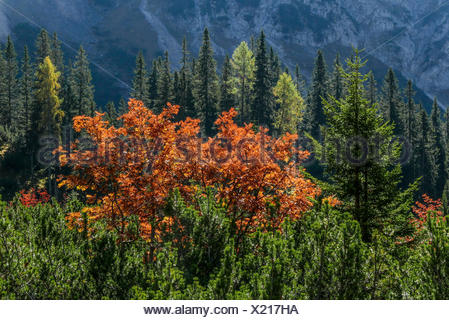Autumn mood in the Puittal in Wetterstein Range, Tyrol, colourful Vogelbeertree between mountain pines and in front of spruces and larches - Stock Photo