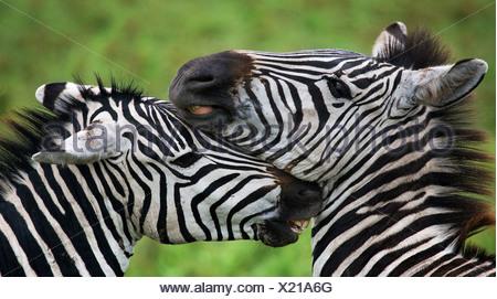 Zebras nuzzling each other, Ngorongoro National Park, Tanzania. - Stock Photo