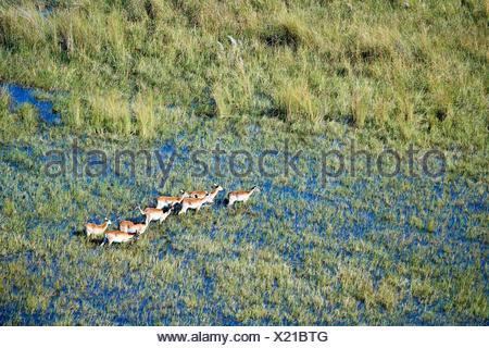 Aerial view of Lechwe (Kobus leche) crossing wetlands, Okavango Delta, Botswana, Africa. - Stock Photo