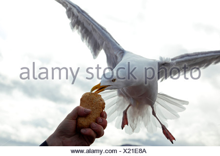 herring gull (Larus argentatus), feeding from a piece of bread out of somebodies hand on the fly, Norway, Trondelag, Mittelnorwegen, Flatanger, Lauvsnes - Stock Photo