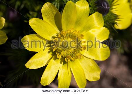 spring flower of adonis vernalis in the garden closeup - Stock Photo