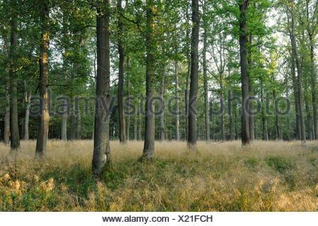 tufted hair-grass (Deschampsia cespitosa), in an oak forest, Germany - Stock Photo