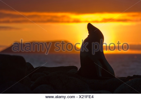 Female California sea lion (Zalophus californicus wollebacki), North Seymour Island, Galapagos Archipelago, Ecuador - Stock Photo