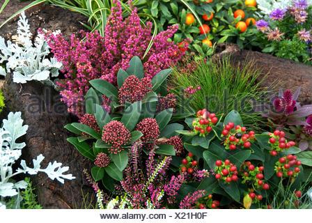 Japanese Skimmia (Skimmia japonica 'Rubella', Skimmia japonica Rubella), cultivar Rubella with other autumn plants - Stock Photo