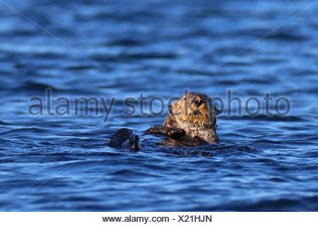 sea otter (Enhydra lutris), swimming, Canada, Vancouver Island - Stock Photo