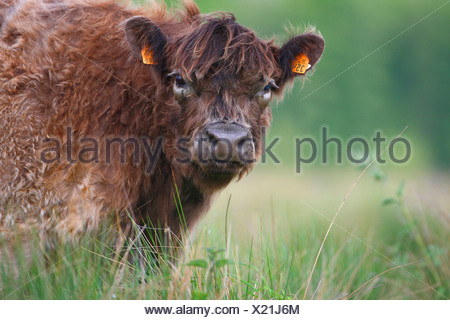 Galloway cattle, domestic cattle (Bos primigenius f. taurus), young Galloway cattle on pasture, Netherlands, Gelderland - Stock Photo