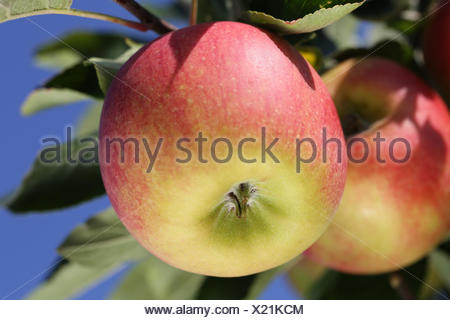 Reifer Apfel hängt auf einem Apfelbaum im Herbst - Stock Photo